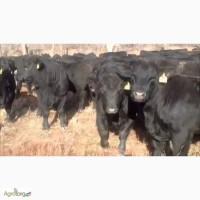 Фермерське господарство закуповує бичків (абердин, симментал, шароле, волинська мясна)