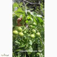 Саженцы ореха грецкого Кочерженко