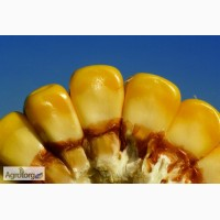 РАМ 8663 новый гибрид кукурузы фао 340