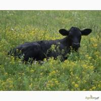 Куплю бычков от 100-150кг (Небольше)