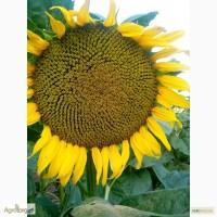 Семена подсолнечника Аракар, устойчивый к 7 рассам заразихи