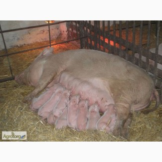 Продам Оптом 1500 Голов Свиноматки |Вес: 250+ кг| Свиньи Опт| Свиноматка