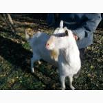 Продам молодого зааненского козлика