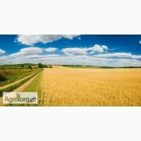 Закупка пшеницы классовой и фуражной