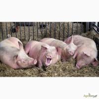Закупаем свиней