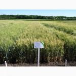 Семена озимой пшеницы Гурт (элита)