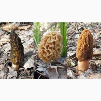 Куплю гриби зморшки (сморчки)