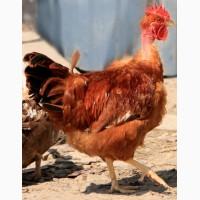 Продам курчат испанки голошейки подростка