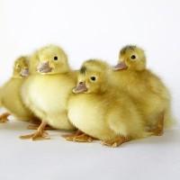 Яйця для інкубації качок Мулард