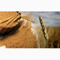 Куплю дорого ячмень, пшеницу разноклассовую, Днепр