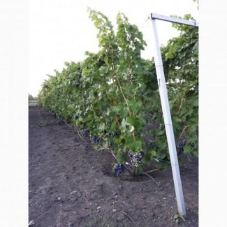 Продам виноград столовых сортов 2019