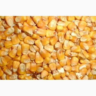 Продам зерно кукурузы (сухое)