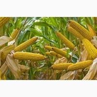 Семена кукурузы Одесса. Купить посевные семена кукурузы