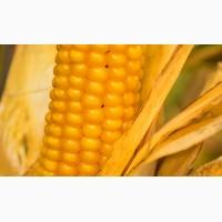 Насіння кукурудзи Гран 6 (ФАО 300)