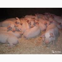 БВМД JNL pig start strong 25%