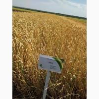 Насіння пшениці озимої та ячменю озимого