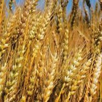 Семена зерновых меш.50кг - привозим