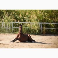 Продажа лошади, мерин