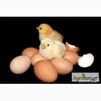 Продам инкубационное яйцо бройлера кобб-500