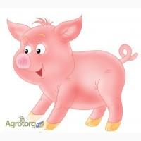 Продам срочно! Свиноматки по хорошей цене, без посредников!