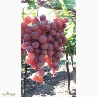 Продам свежий виноград кишмиш и red glob