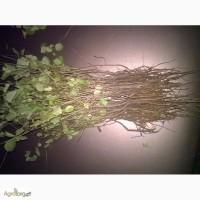 Магалебка (антипка) сеянец подвой для черешни, вишни для зимней прививки летней окулировки
