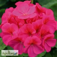Продам семена Пеларгония зональная Ева F1