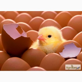 Продаем оптом инкубационное яйцо бройлера КОББ-500