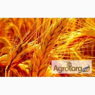 Куплю пшеницю фуражну і продовольчу 2 и 3 класу
