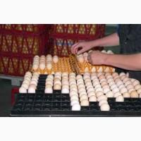 Инкубационные яйца Адлер Серебристый