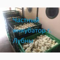 Цыплята Бройлера КОББ-500