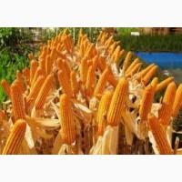 РАМ 1033 новый ранний гибрид кукурузы со стабильной урожайностью