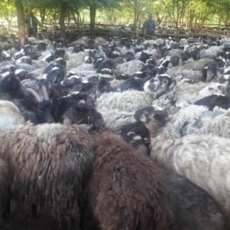 Продам овец ярок баранов романовской породы