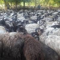 Продам овец ярок баранов романовской породы на экспорт