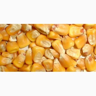 куплю кукурузу на элеваторе