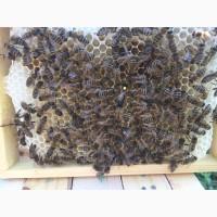 Матка Карпатка 2020 ПЛІДНІ БДЖОЛОМАТКИ Пчеломатки, Бджоломатки, Бджолині матки