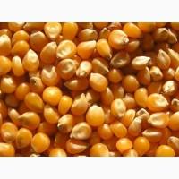 Закупаем кукурузу, только безнал с НДС, С/Х производитель, от 100т