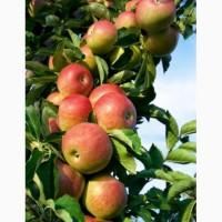 Яблоко урожай 2020 из сада