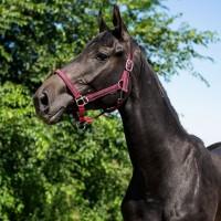 Продажа молодой лошади, кобыла