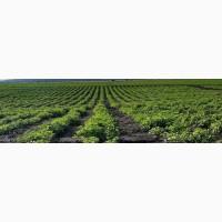 Продам свежую зелень Петрушка Укроп Лук (перо) Салат