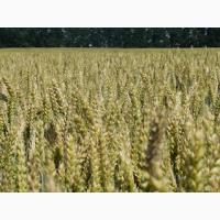 Семена озимой пшеницы Астарта, Лазурна, Каланча, Ера Одеская