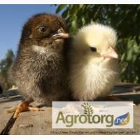 Цыплята мясо-яичной породы (суточные и подрощенные)