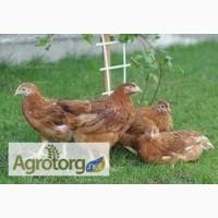Оптовая продажа подроста и суточных цыплят