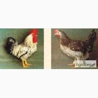 Суточные цыплята кур породы Борковская барвыстая