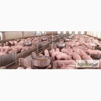Продам свиней живым весом 500 галов