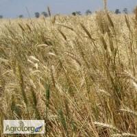 Озимая пшеница Донецкая-48 элита и 1 репр