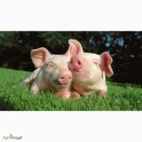 БВД для свиней 15% ШенПіг Гровер Стандарт (відгодівля свиней 35-70 кг)