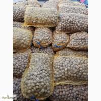 Продам грецкий орех (в скорлупе, бойный, кругляк, светлый)