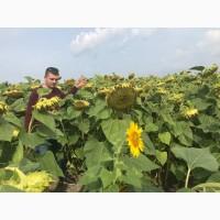 Продам насіння соняшника під Євролайтінг, Гранстар, Класік технологіі