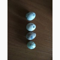 Продам перепелині яйця